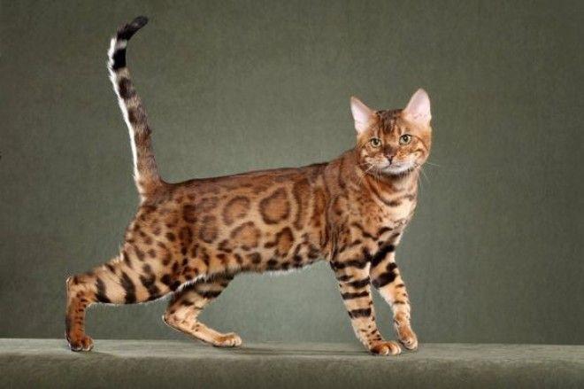 5 модных и дорогих пород кошек которые лучше не покупать