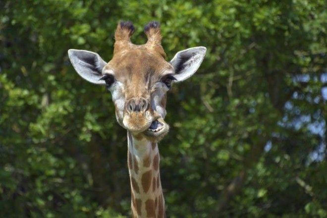 15. Режим сна у жирафов животные, животный мир, интересные факты, интересные факты для детей, познавательные факты, природа, факты о животных, хочу все знать