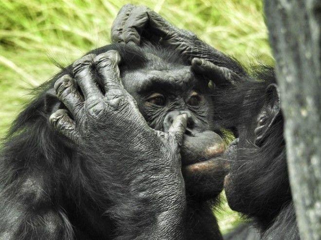 8. Наш ближайший генетический родственник животные, животный мир, интересные факты, интересные факты для детей, познавательные факты, природа, факты о животных, хочу все знать