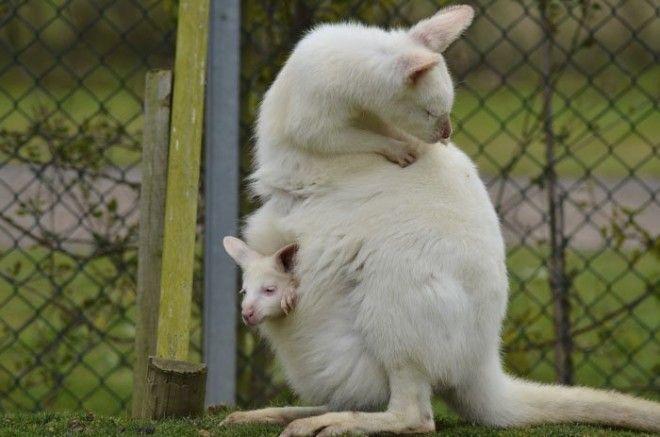 4. Рост и развитие кенгуру животные, животный мир, интересные факты, интересные факты для детей, познавательные факты, природа, факты о животных, хочу все знать