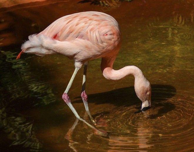 2. Колени фламинго животные, животный мир, интересные факты, интересные факты для детей, познавательные факты, природа, факты о животных, хочу все знать