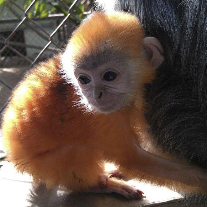 11. Цвет детенышей лангура животные, животный мир, интересные факты, интересные факты для детей, познавательные факты, природа, факты о животных, хочу все знать