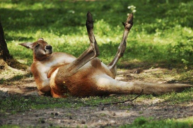 9. Неуклюжая походка кенгуру животные, животный мир, интересные факты, интересные факты для детей, познавательные факты, природа, факты о животных, хочу все знать