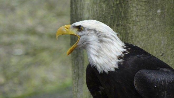 13. Голос лысого орла животные, животный мир, интересные факты, интересные факты для детей, познавательные факты, природа, факты о животных, хочу все знать