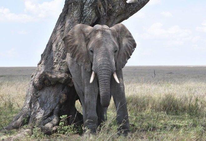 3. Самосознание слонов животные, животный мир, интересные факты, интересные факты для детей, познавательные факты, природа, факты о животных, хочу все знать