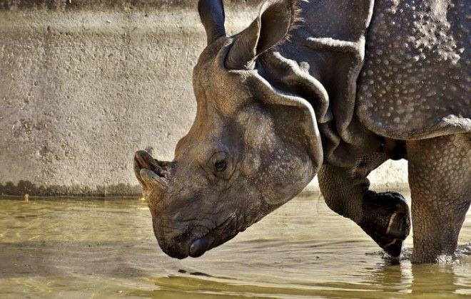 16. Рога носорога животные, животный мир, интересные факты, интересные факты для детей, познавательные факты, природа, факты о животных, хочу все знать